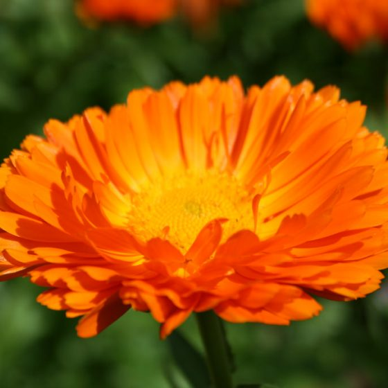 Calendula officinalis, caledula (coltivata)photo credit: www.flickr.com/photos/75774141@N00/9548866720 via photopin creativecommons.org/licenses/by-nc/2.0/