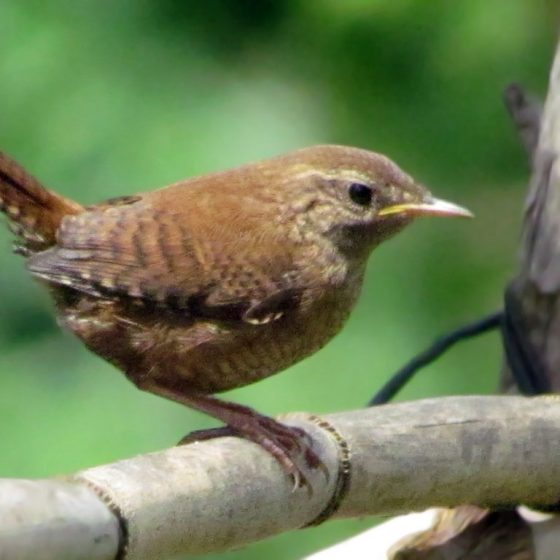 Troglodytes troglodytes, scricciolo [photo credit: www.flickr.com/photos/127023375@N05/14816465969Eurasian wren via photopincreativecommons.org/licenses/by-sa/2.0/]