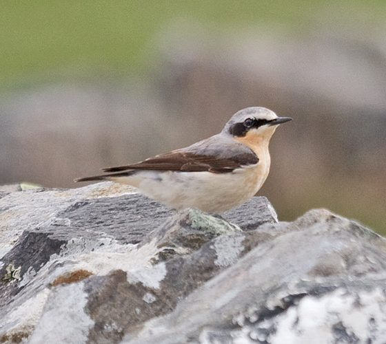 Culbianco [photo credit: www.flickr.com/photos/7322586@N06/15755607796142239-IMG_4789 Wheatear (Oenanthe oenanthe)via photopincreativecommons.org/licenses/by-nc/2.0/]