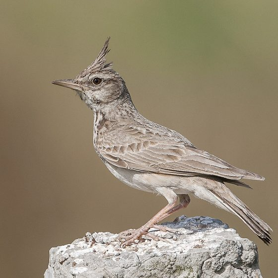 Cappellaccia [photo credit: www.flickr.com/photos/97235261@N00/22026336489Crested Lark via photopincreativecommons.org/licenses/by/2.0/]