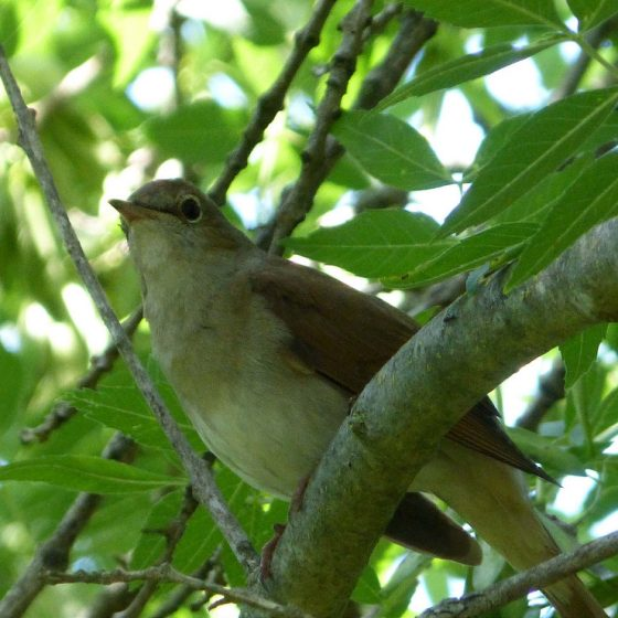 Usignolo [photo credit: www.flickr.com/photos/43272765@N04/22930533779Nightingale - Luscinia megarhynchosvia photopincreativecommons.org/licenses/by/2.0/]