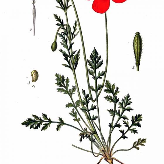 Papaver argemone, papavero argemone Reproduction of a painting that is in the public domain because of its age Source Atlas des plantes de France, 1891This work is in the public domain in its country of origin and other countries and areas where the copyright term is the author's life plus 70 years or less From Wikimedia Commons, the free media repository