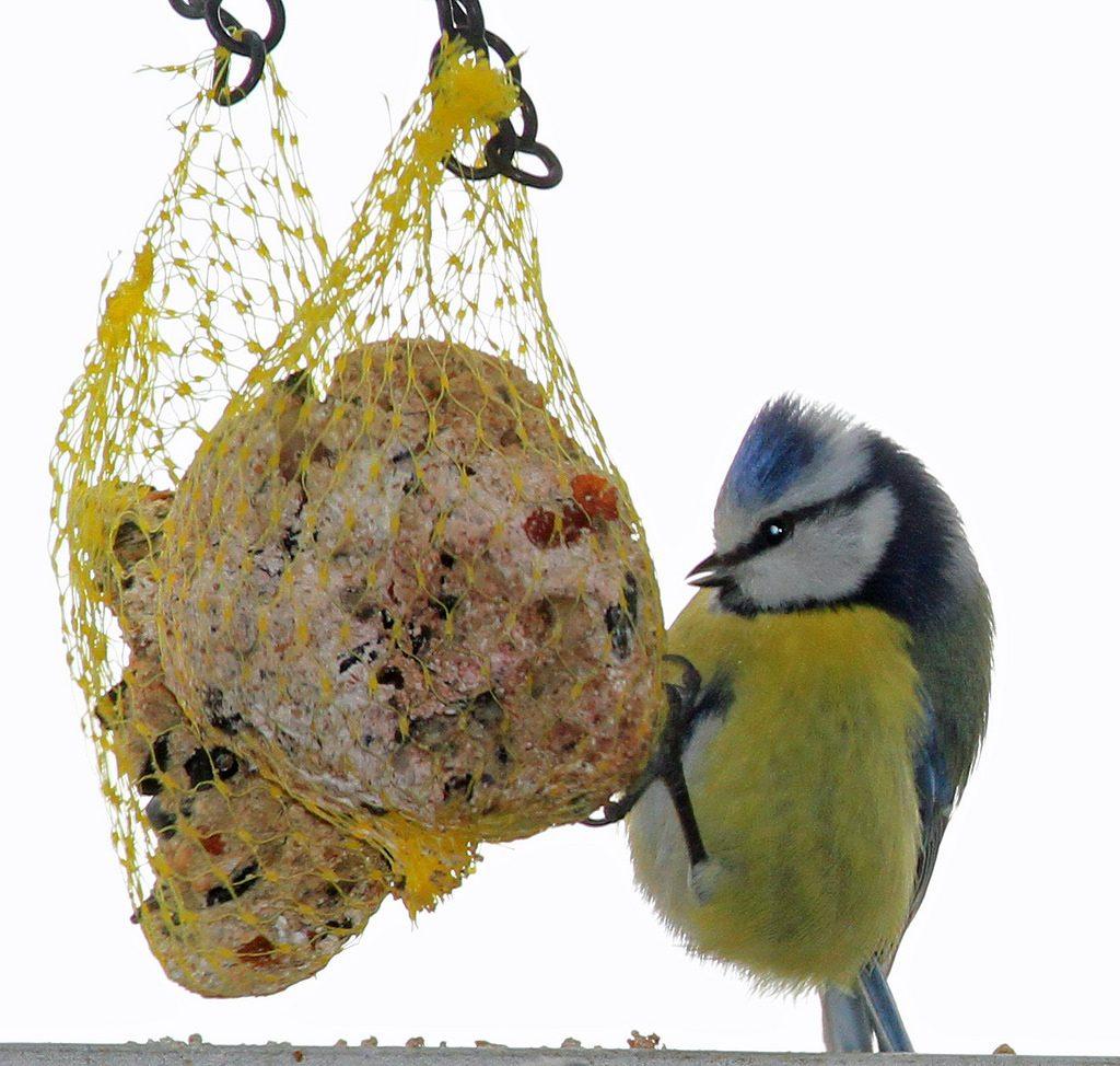 Cinciarella [photo credit: www.flickr.com/photos/134928025@N05/25525087286Parus caeruleus via photopincreativecommons.org/licenses/by/2.0/]