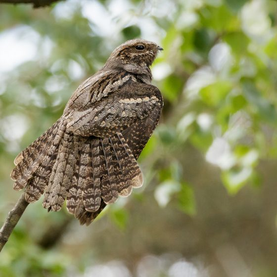 Succiacapre [photo credit: www.flickr.com/photos/127787488@N03/27017410413Nightjar via photopincreativecommons.org/licenses/by-nc-nd/2.0/]
