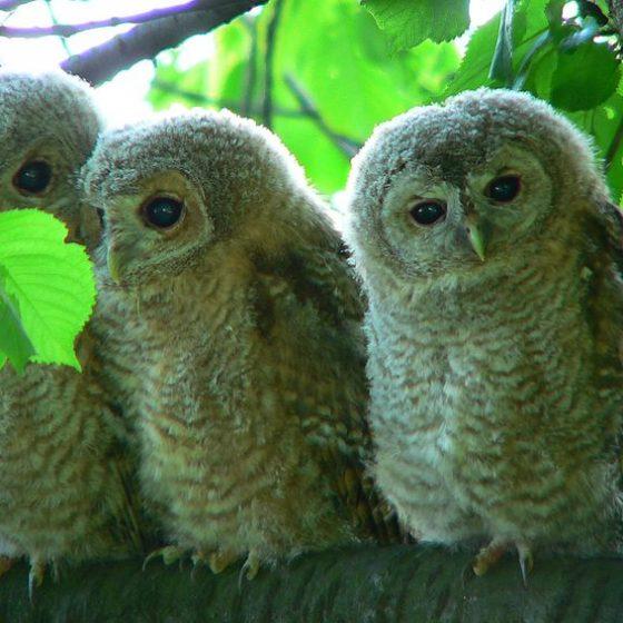 3 giovani di allocco (Strix aluco) Photo taken by Artur Mikołajewski Opera propria, CC BY-SA 3.0, https://commons.wikimedia.org/w/index.php?curid=176924