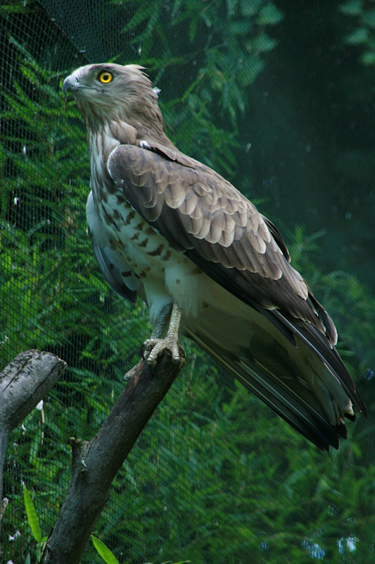 Biancone [photo credit: Short-toed eagle (Biancone) via photopin (license)]