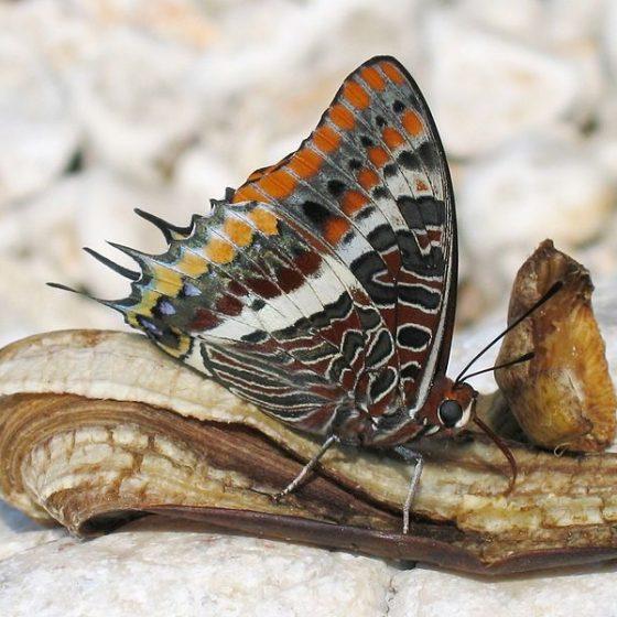 Ninfa del corbezzolo, Charaxes jasius [da Wikipedia Harald Süpfle - photo taken by Harald Süpfle Two-tailed Pasha, Croatia, Istria]