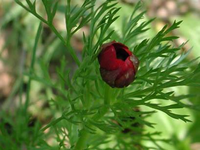 Adonide rossa