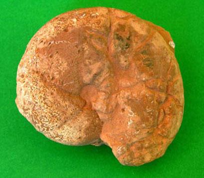 Calliphylloceras capitanioi