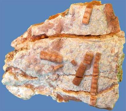 Crinoidi in un elemento roccioso