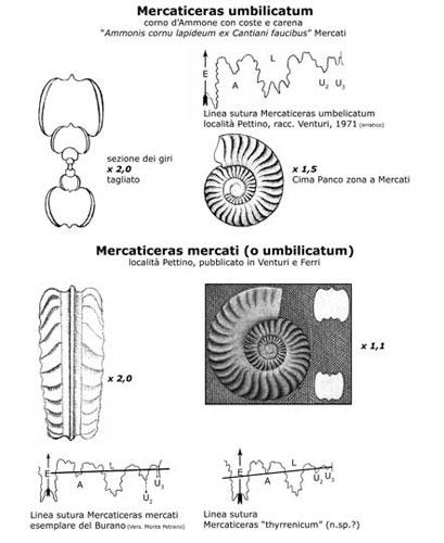 Mercaticeras, disegno a cura del prof. Federico Venturi