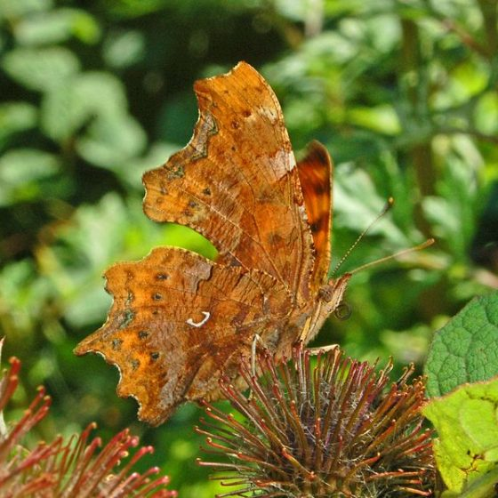 Polygonia C-album [By Hectonichus - Own work, CC BY-SA 3.0, commons.wikimedia.org/w/index.php?curid=20931641]