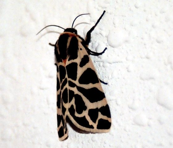 Cymbalophora pudica [Da wikimedia foto di Luis José Bellido Cruz mediateca.educa.madrid.org/imagen/ver.php?id_imagen=iil6bypmvekzeznf&id_grupo=165, CC BY-SA 2.5 es, commons.wikimedia.org/w/index.php?curid=6601388]