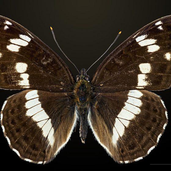 Limenitis camilla, camilla [da wikimedia, photo by Didier Descouens Own work, CC BY-SA 4.0,commons.wikimedia.org/w/index.php?curid=41141232]