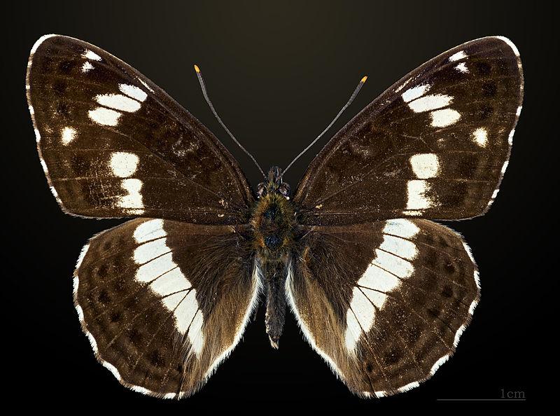 Limenitis camilla - camilla