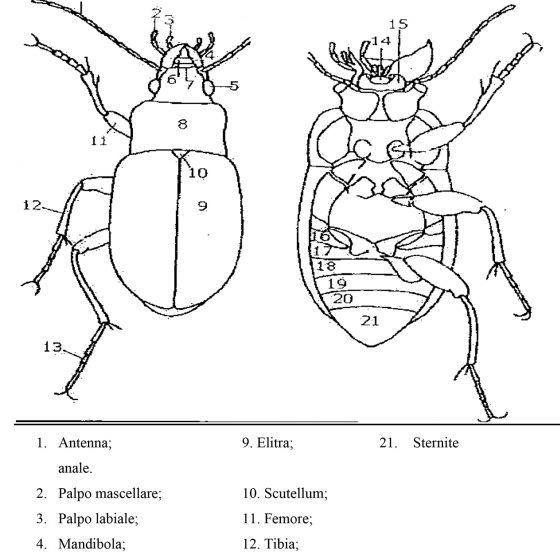 Struttura dei coleotteri, tavola tratta da 'INSETTI', Chinery M., Garzanti, 1988