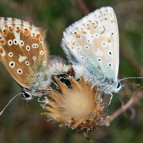 Lisandra azzurra, bellargo - Foto di Giampaolo Filippucci, Tiziana Ravagli