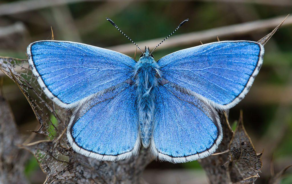 A male Adonis blue (Polyommatus bellargus) butterfly in Foissac, Aveyron, FranceLisandra azzurra, bellargo [da wikimedia, foto di Diliff Own work, CC BY-SA 3.0, commons.wikimedia.org/w/index.php?curid=29300371]