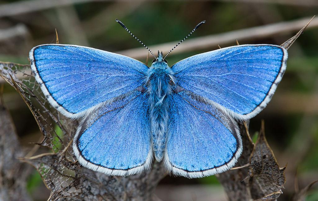 Polyommatus (Lysandra) bellargus – lisandra azzurra, bellargo