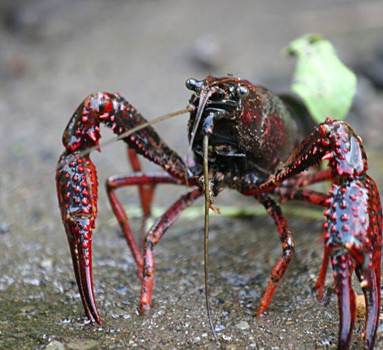 Gambero rosso della Louisiana (Procambarus clarkii) [MikeMurphy presunto (secondo quanto affermano i diritti d'autore) – Pubblico dominio, https://commons.wikimedia.org/w/index.php?curid=1179396]