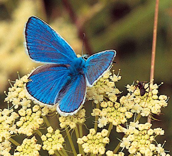 Argo azzurro (foto di Fabrizio Cicio)
