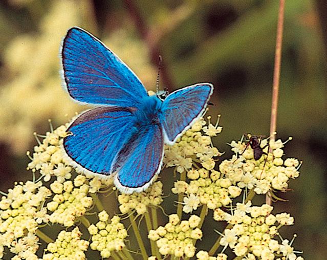 Polyommatus icarus - argo azzurro