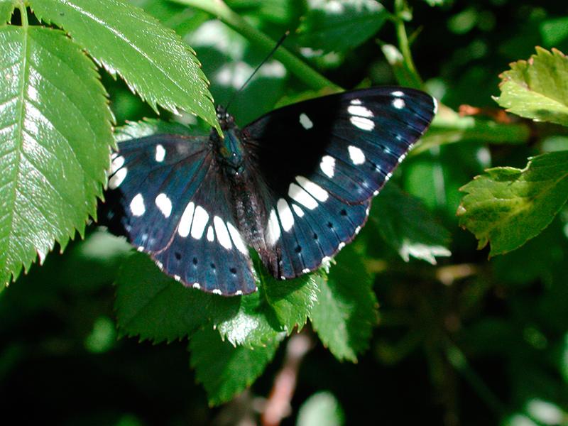 Limenitis reducta - piccolo silvano, silvano azzurro