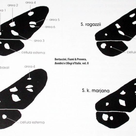 Differenze tra le diverse specie di Amata, da da Bertaccini, Fiumi & Provera, Bombici e Sfingi d'Italia, vol. II