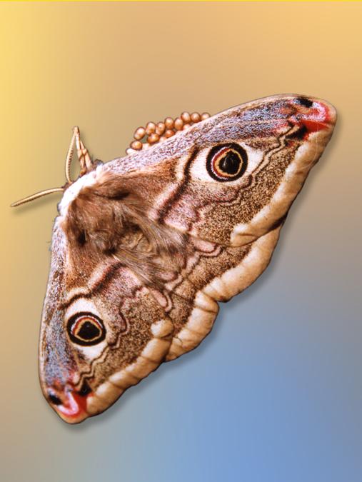 Saturnia pavoniella - pavonia minore