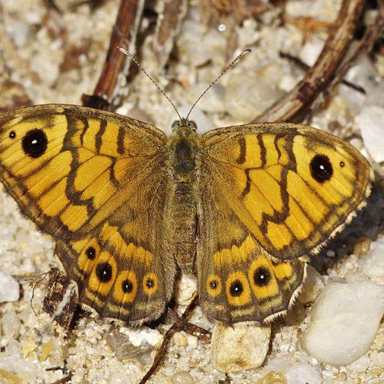 Lasiommata megera, megera [da wikimedia, foto di Jörg Hempel, CC BY-SA 3.0 de,commons.wikimedia.org/w/index.php?curid=27765420]
