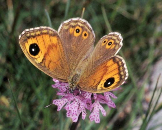 Lasiommata maera - Foto di Paolo Mazzei - www.leps.it - su gentile concessione dell'autore per il progetto 'TreviAmbiente'