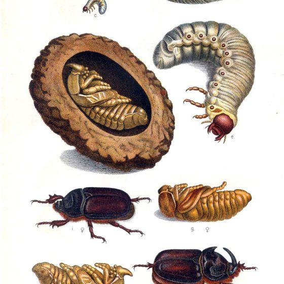 Oryctes nasicornis Da una tavola di Edmund Reitter, Die Käfer des deutschen Reiches (vol. II), 1908, [Public domain], via Wikimedia Commons