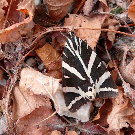 Euplagia quadripunctaria, falena dell'edera, falena tigre - Foto di Giampaolo Filippucci, Tiziana Ravagli