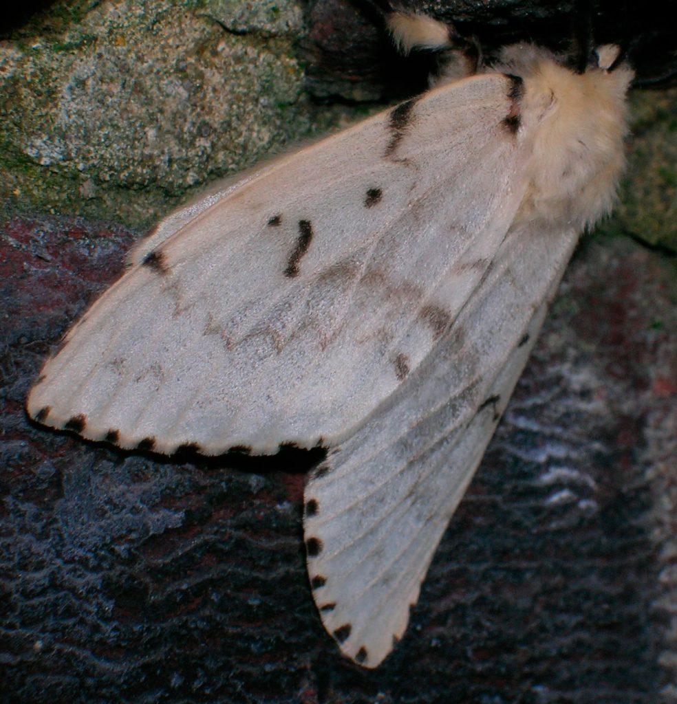 Lymantria dispar, femmina - Foto di Giampaolo Filippucci, Tiziana Ravagli (Trevi)