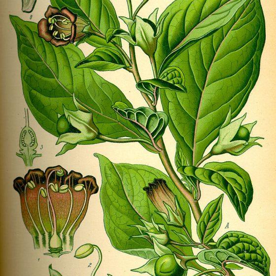 Atropa belladonna, tavola dalla 'Flora tedesca' [Pubblico dominio, commons.wikimedia.org/w/index.php?curid=8704]
