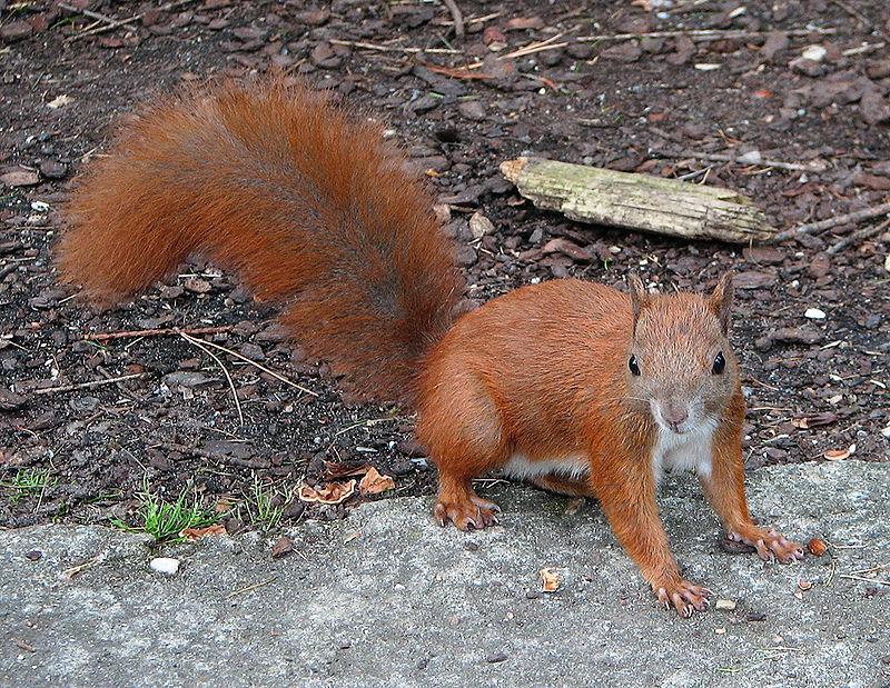 Scoiattolo rosso, scoiattolo comune europeo