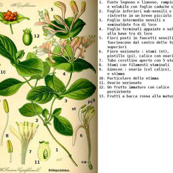 Tavola di Lonicera caprifolium [da wikimedia, a cura del Prof. Dr. Otto Wilhelm Thomè, Pubblico dominio, it.wikipedia.org/w/index.php?curid=1833213]