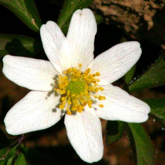 Anemone nemorosa, anemone dei boschi [da wikimedia, foto di Enrico Blasutto di Wikipedia in italiano, CC BY-SA 2.5, commons.wikimedia.org/w/index.php?curid=47815680]