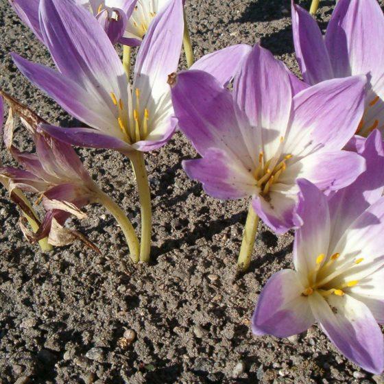 Colchicum sp. [via Wikimedia, foto di BotBln | Opera propria | CC BY-SA 3.0 | Colchicum speciosum Flowers BotGardBln0906.JPG, 2006]