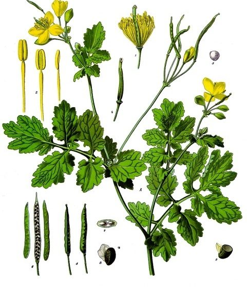 Chelidonium majus, tavola tratta da [Köhler's Medizinal, Pflanzen Di Franz Eugen Köhler, List of Koehler Images, Pubblico dominio, commons.wikimedia.org/w/index.php?curid=255299]