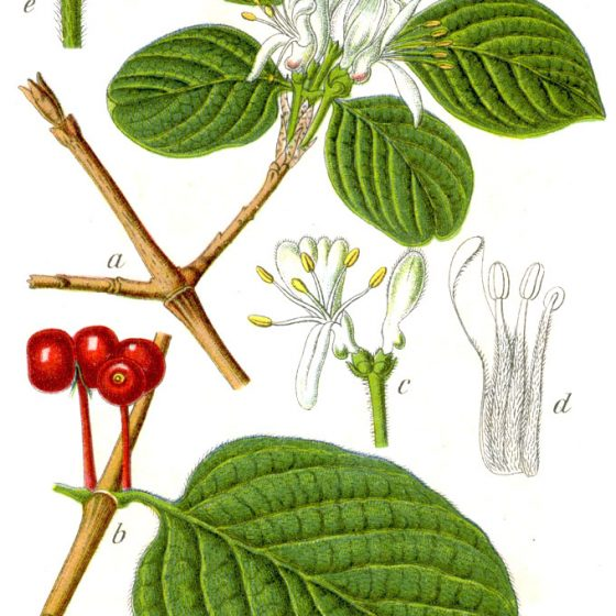 Lonicera xylosteum, tavola [da wikimedia, di Johann Georg Sturm (Painter: Jacob Sturm) - Figure from Deutschlands Flora in Abbildungen www.biolib.de, Pubblico dominio, commons.wikimedia.org/w/index.php?curid=740366]