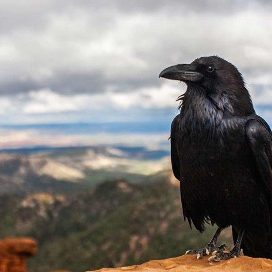 Corvo imperiale, dal sito www.lipu.it