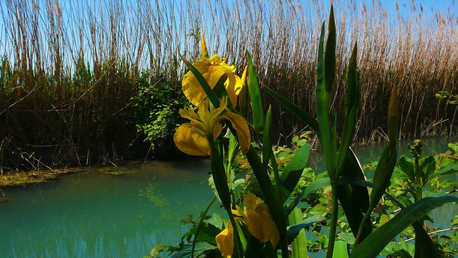 Iris giallo, giaggiolo acquatico