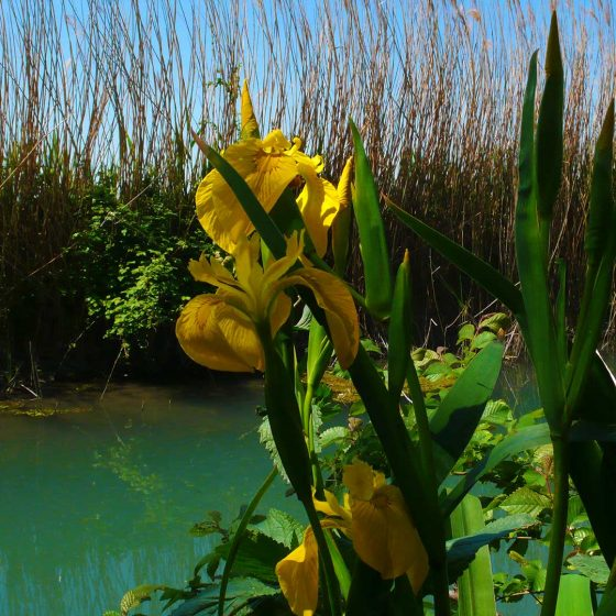 Iris giallo lungo il fiume Clitunno