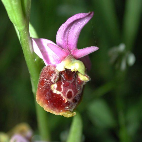 Ophrys holosericea subsp. appennina, argine del torrente Tatarena, Trevi