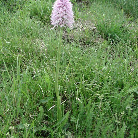 Orchis italica, orchidea italiana, Trevi, argine del torrente Tatarena