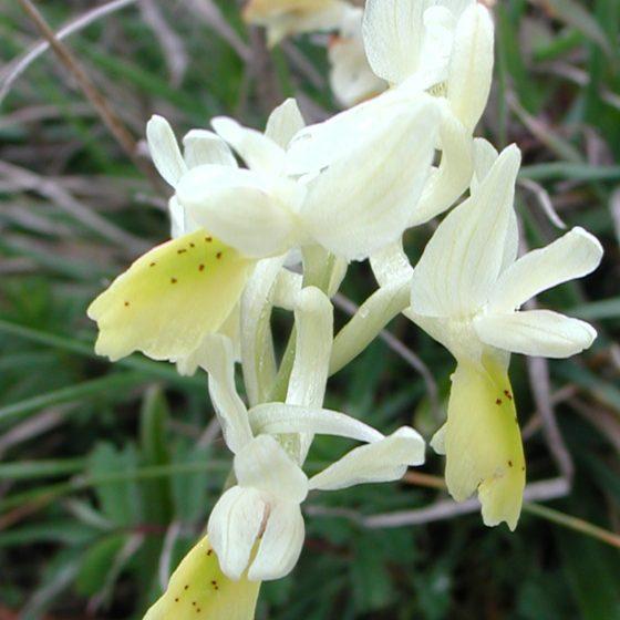 Orchis pauciflora, orchidea gialla, Trevi, monte Caprile
