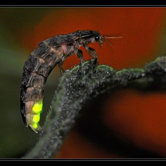 Lampyris noctiluca, lucciola (femmina)[photo credit: cquintin www.flickr.comVers luisant (Lampyris noctiluca)via photopin creativecommons.org/licenses/by-nc/2.0]