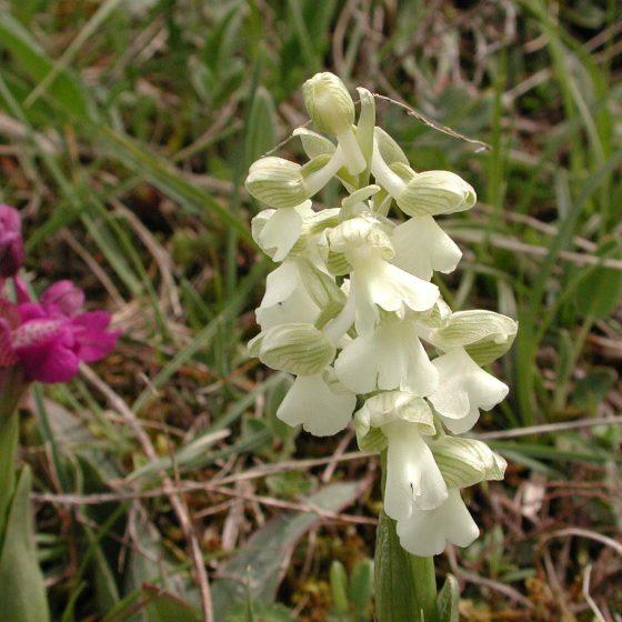 Anacamptis morio, orchidea morio (ipocromatica, albina, varietà chlorantha)