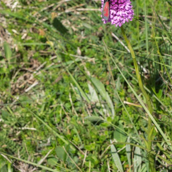 Anacamptis pyramidalis, orchidea piramidale